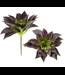 Burgundy Sempervivum Succulent Stem