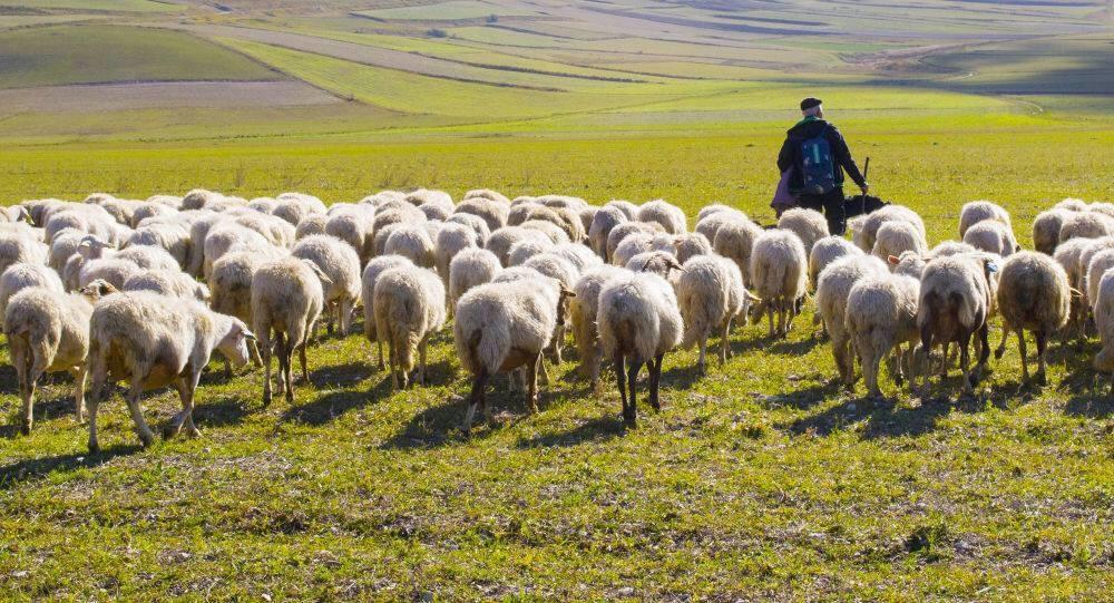 Sheap Wool