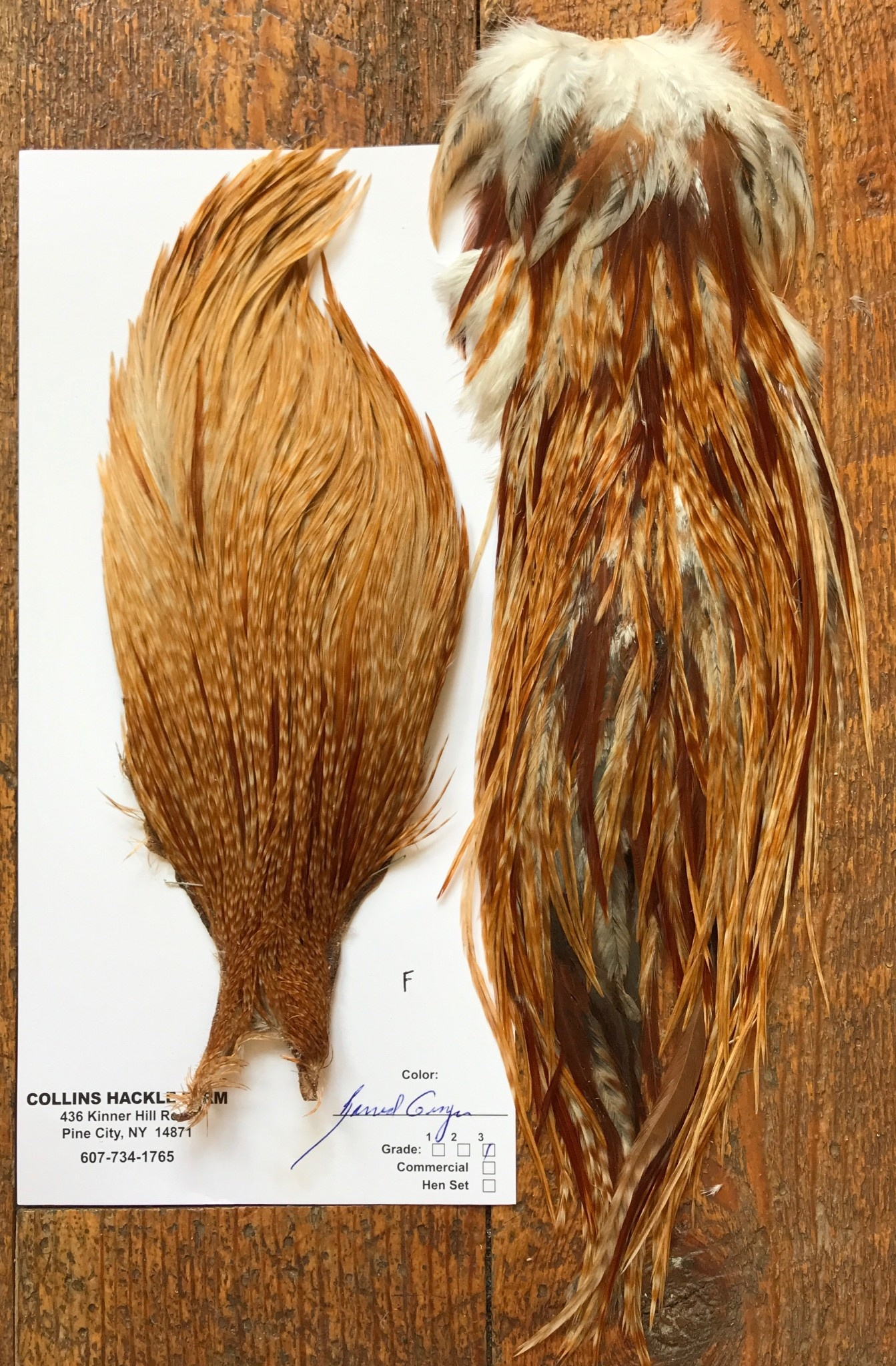 Collins Grade 3 Cape/Saddle Barred Ginger