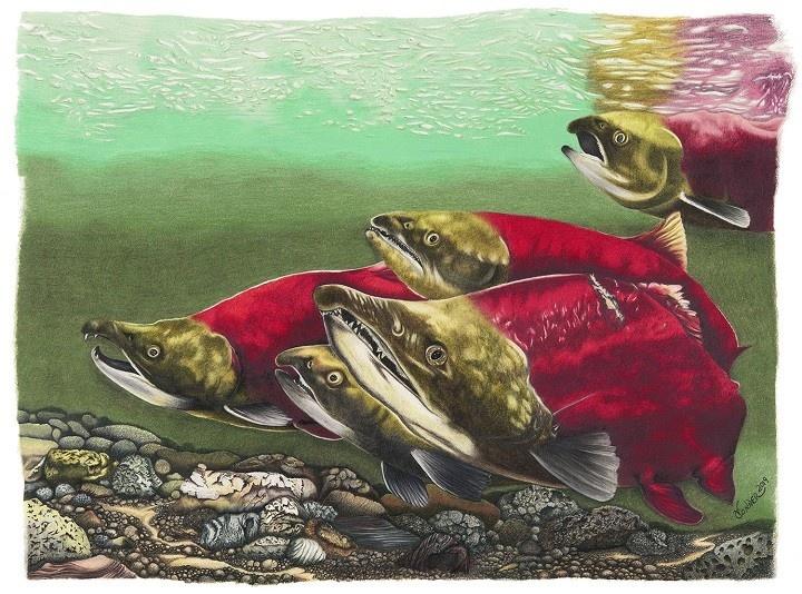 Conner Art - Sockeye Salmon Print