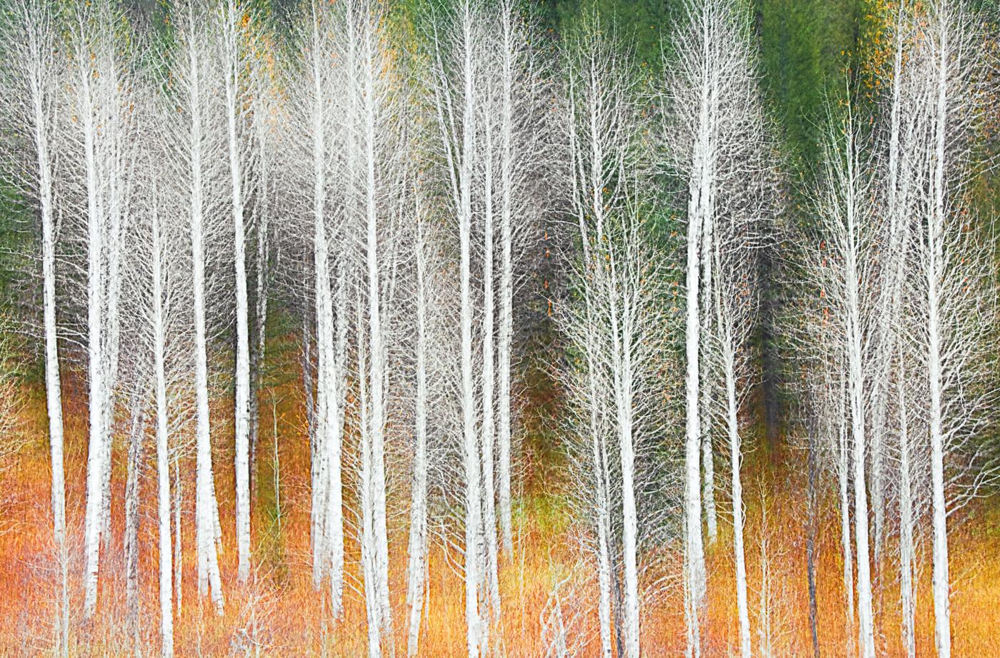 John Juracek Photos - Aspen Trees