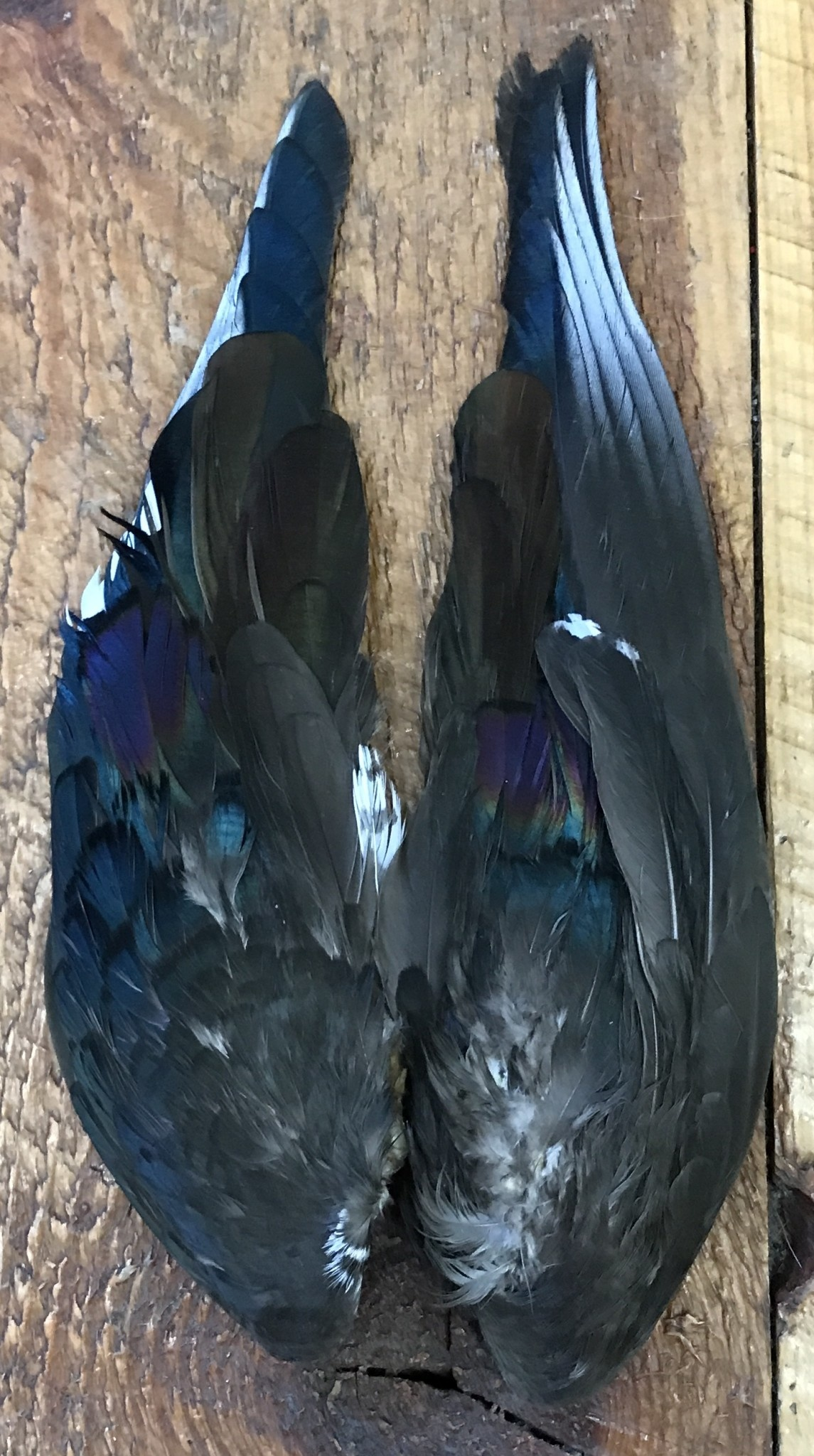 Wood Duck Wings