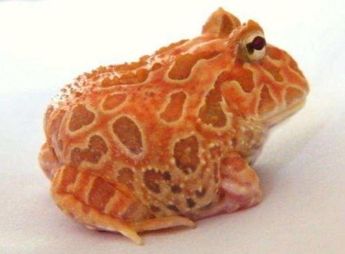 Albino Strawberry Pineapple Pacman Frog