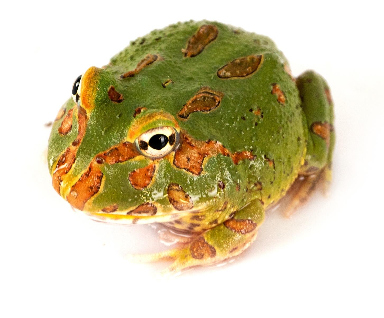 Green 4 Spot Pacman Frog