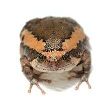 Chubby Frog