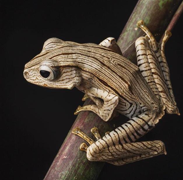 Borneo Eared Tree Frogs