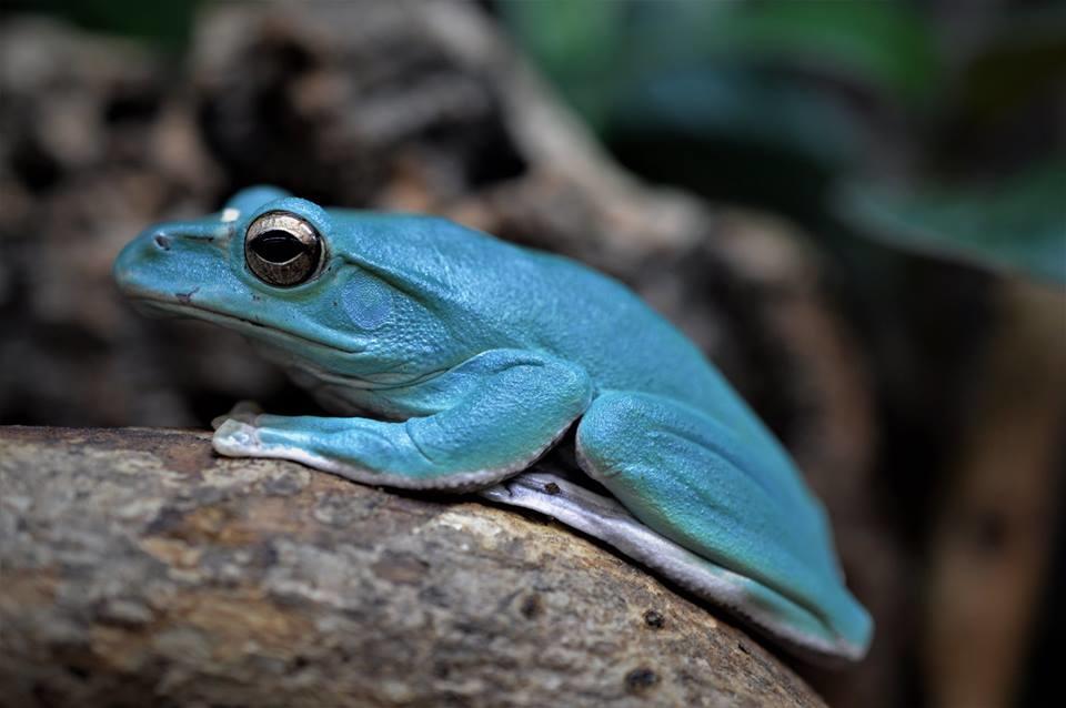 Vietnam Blue Tree Frog