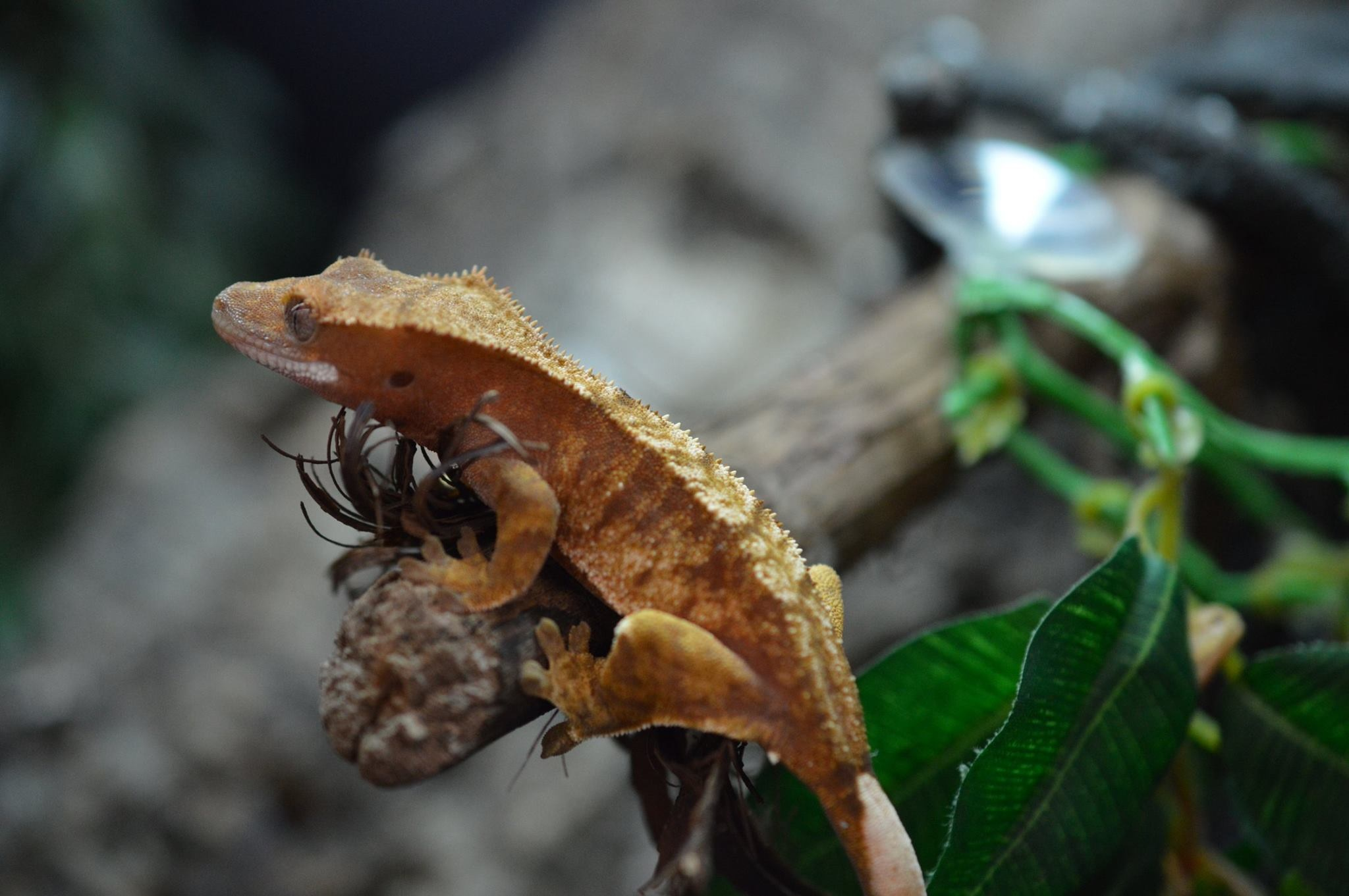 Crested Gecko Baby (Select)