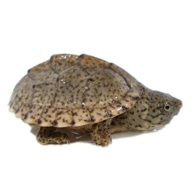 Razor Back Musk Turtle North London On Pet Paradise