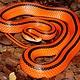 Adult Thai Red Mountain Bamboo Rat Snake