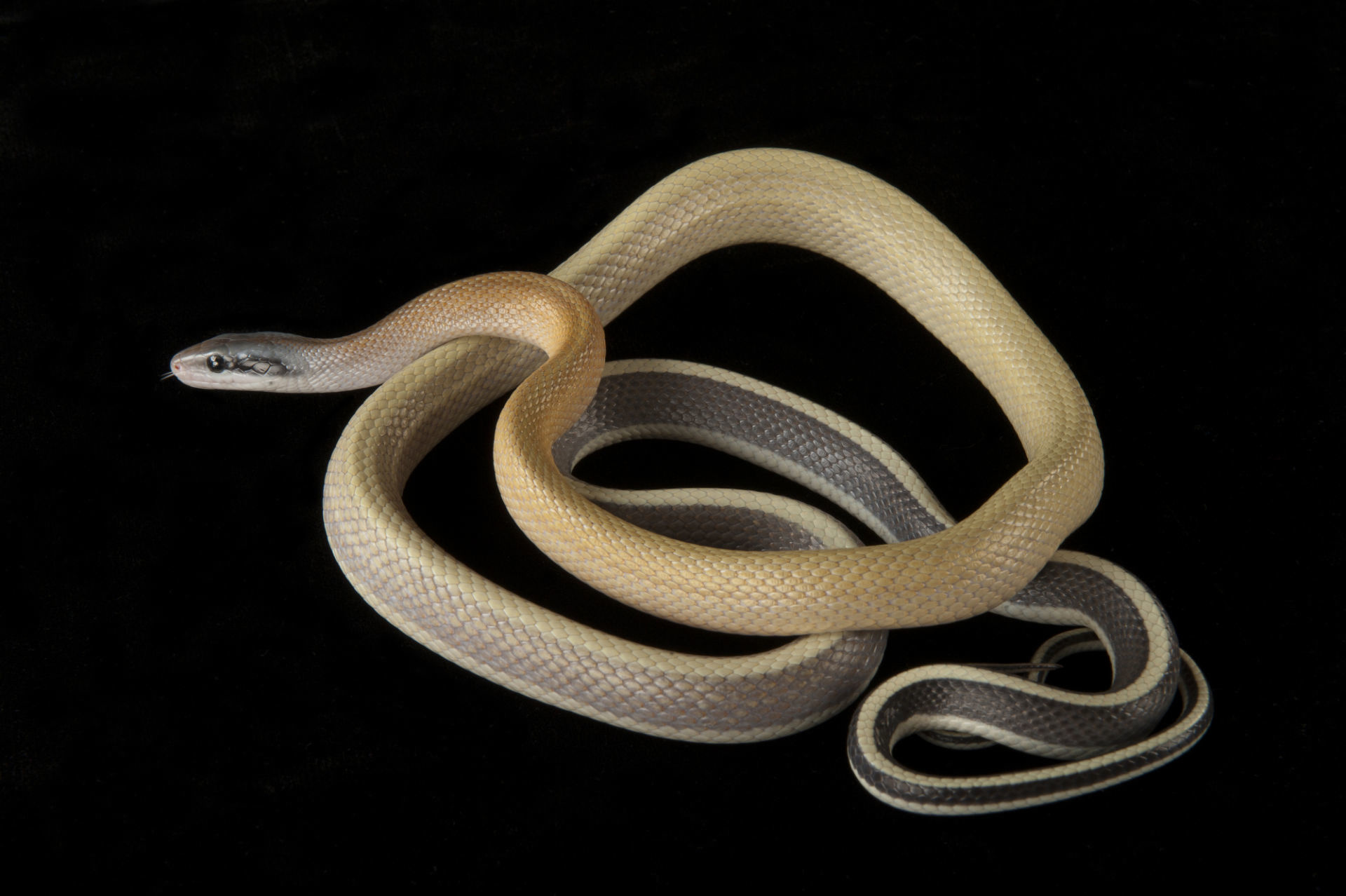 Cave Dwelling Rat Snake (Pair)