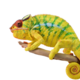 0.1 Nosy Mitsio Panther Chameleon