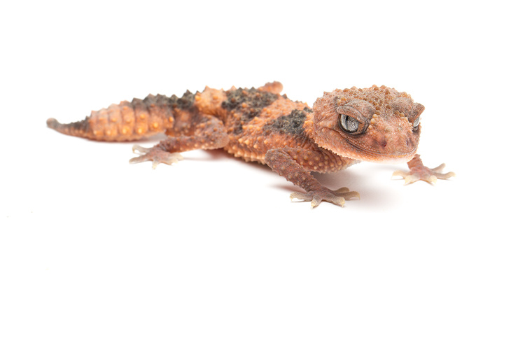 Nephrurus wheeleri cinctus (Knob Tail Gecko)