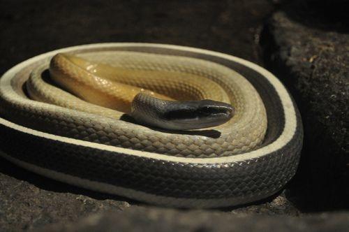 Cave Dwelling Rat Snake