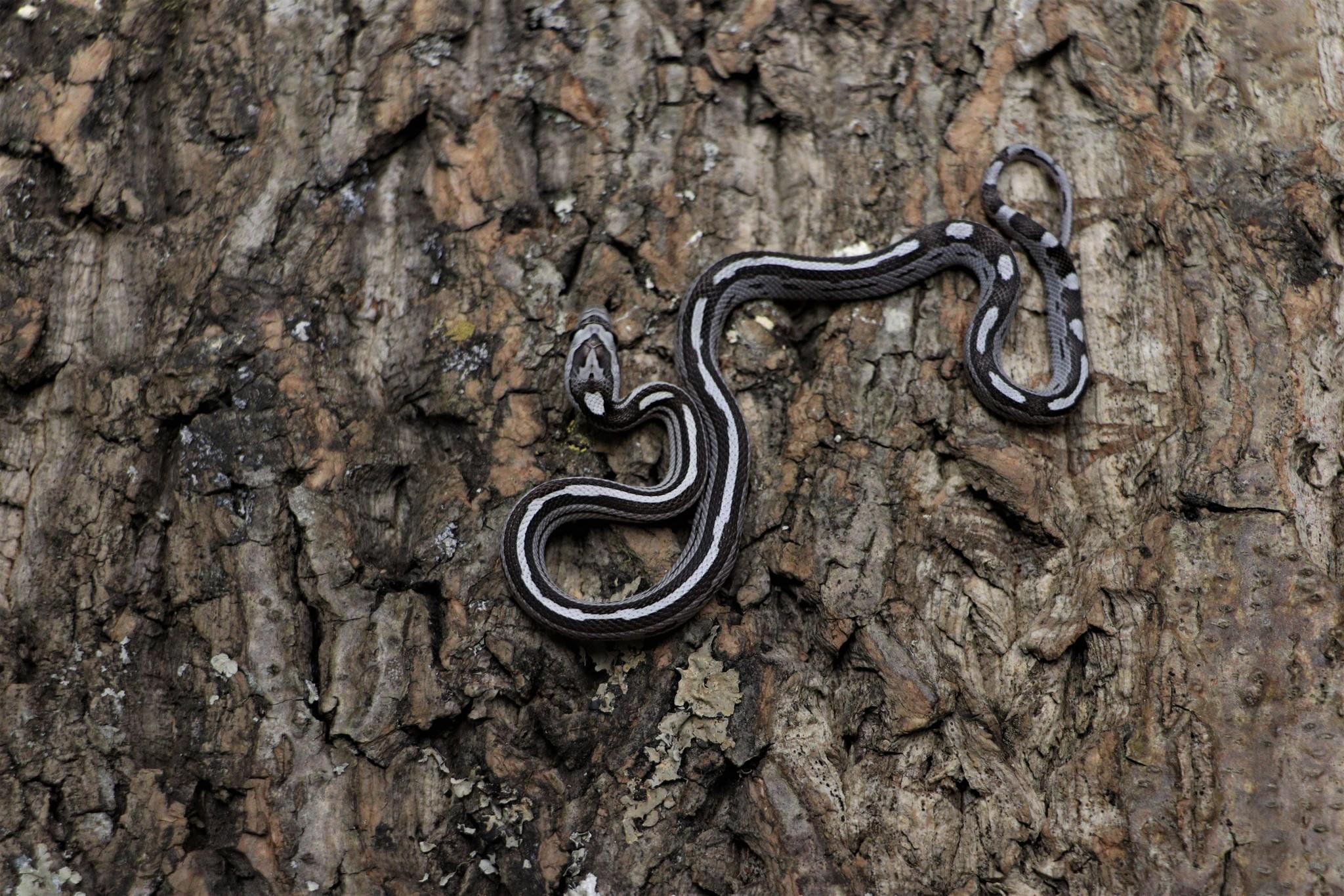 Anery Motley Stripe Corn Snake