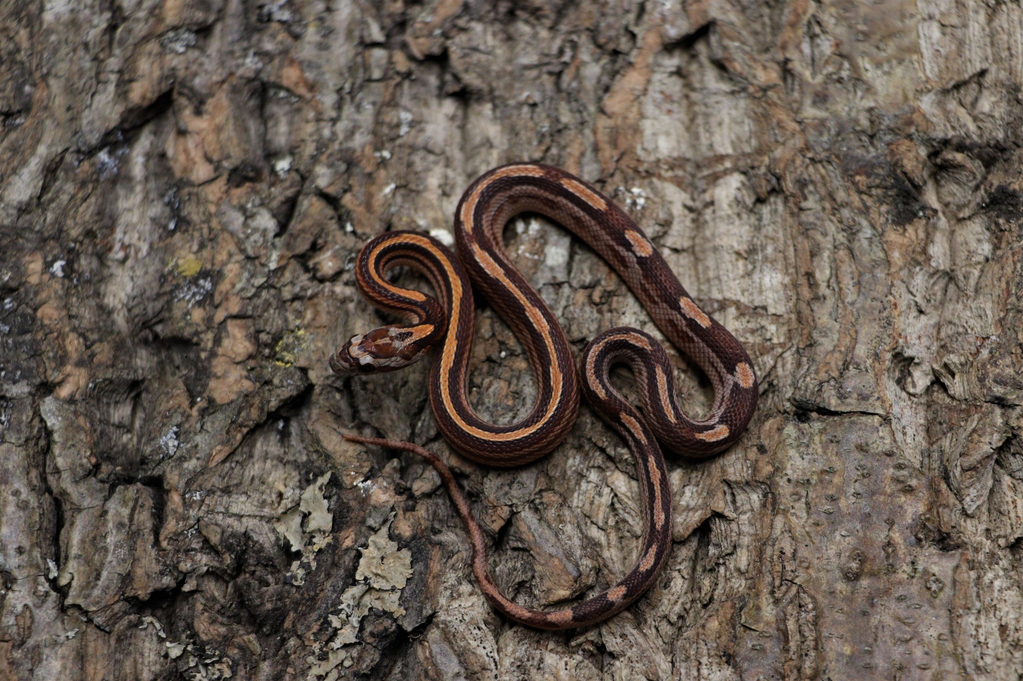 Motley Stripe Corn Snake