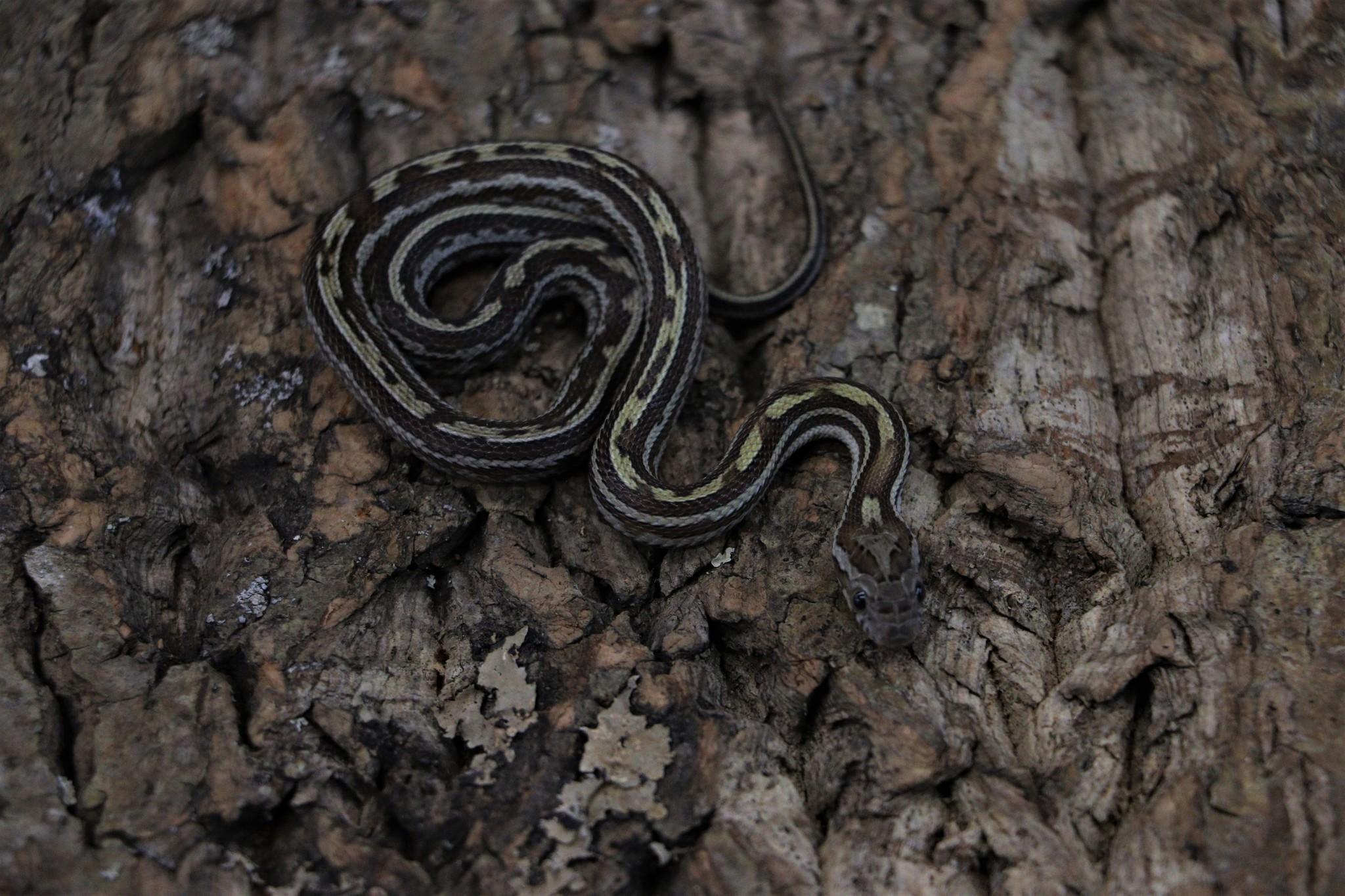 Tessera Caramel Corn Snake