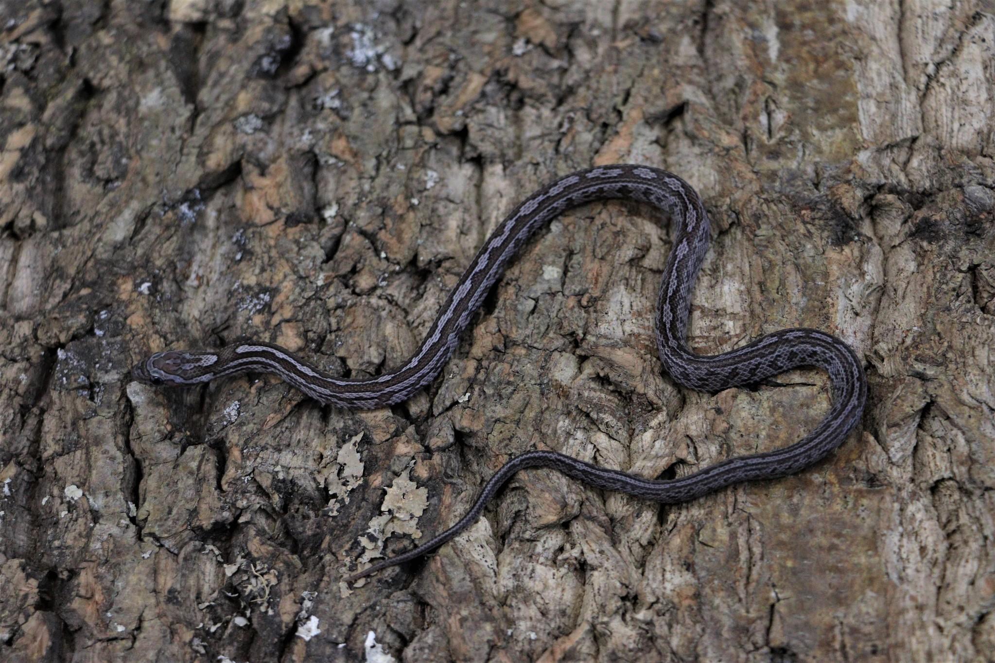 Tessera Charcoal Corn Snake