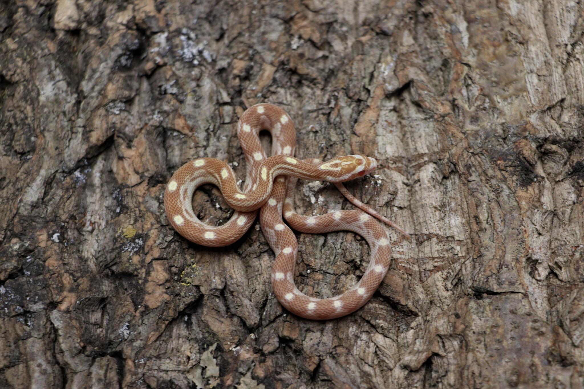 Butter Motley Corn Snake