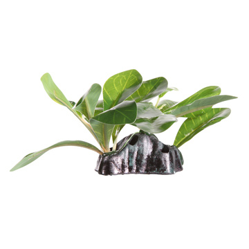 Fluval Fluval Dwarfed Anubias - Small - 15 cm (6in) with Base