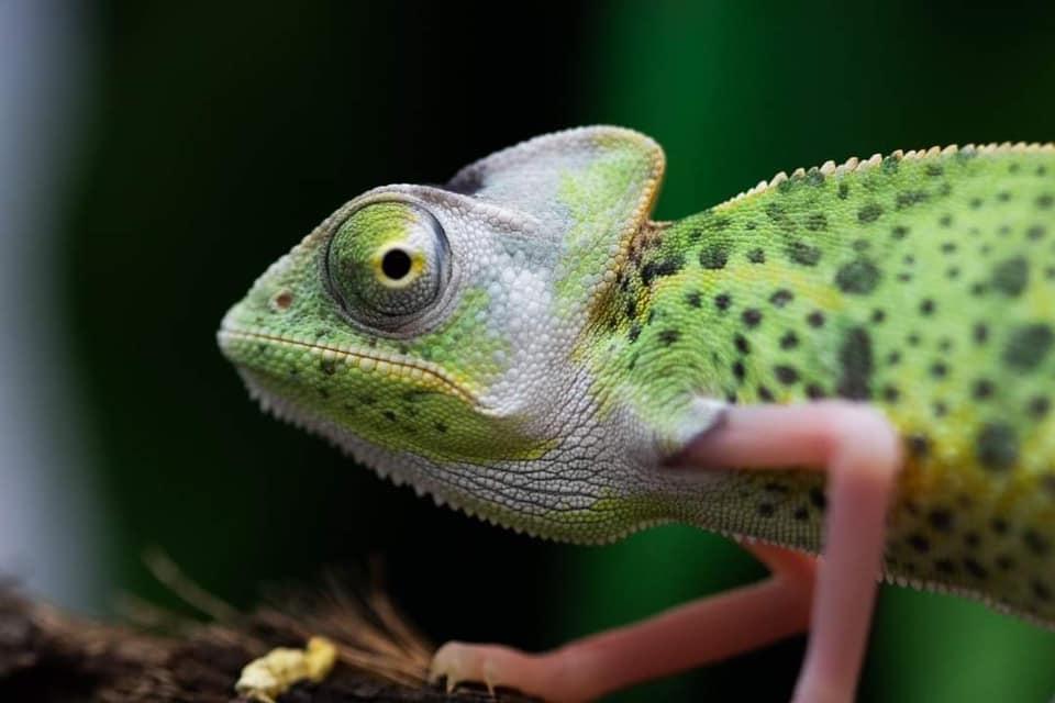 1.0 High White Translucent Veiled Chameleon