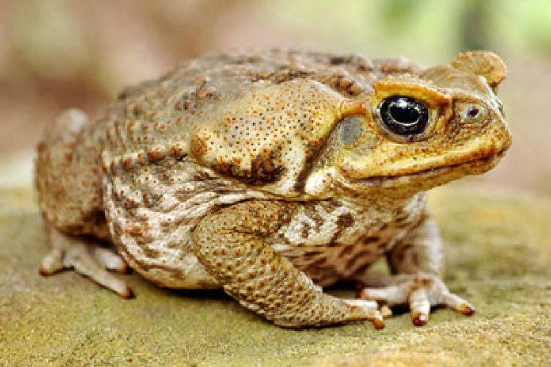 Cane Toad