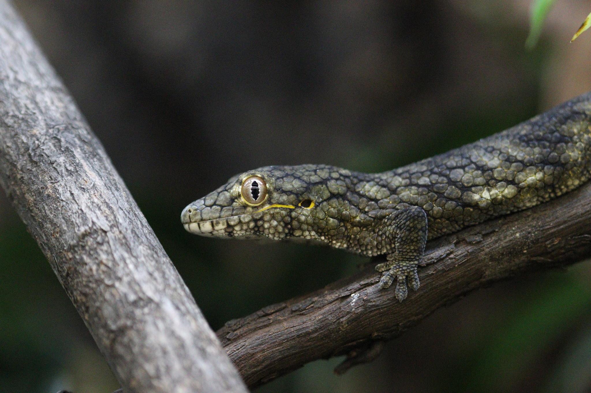 Baby Eurydactylodes Viellardi