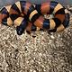 Apricot Pueblan Milk Snake