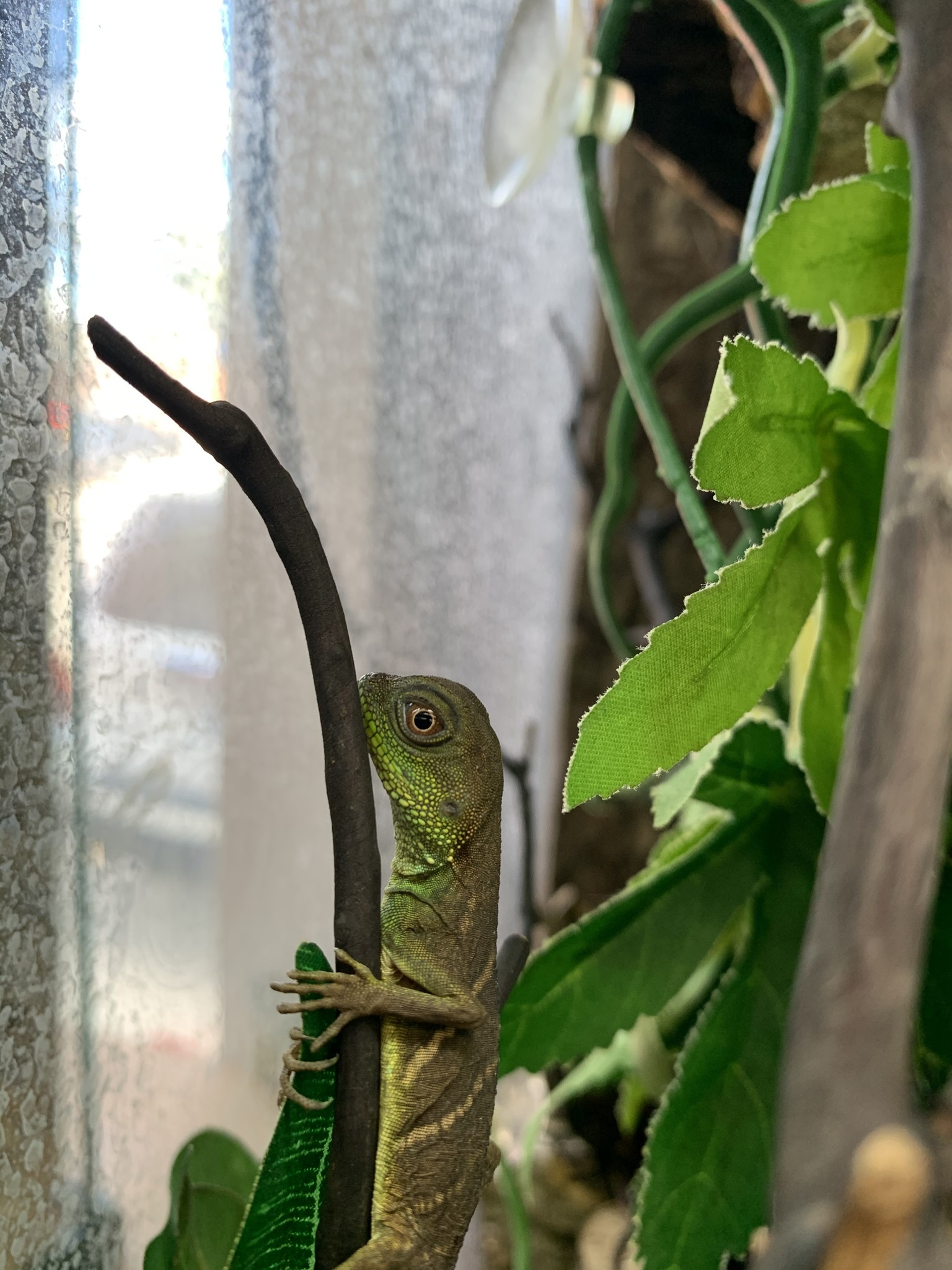 Chinese Water Dragon (Small)