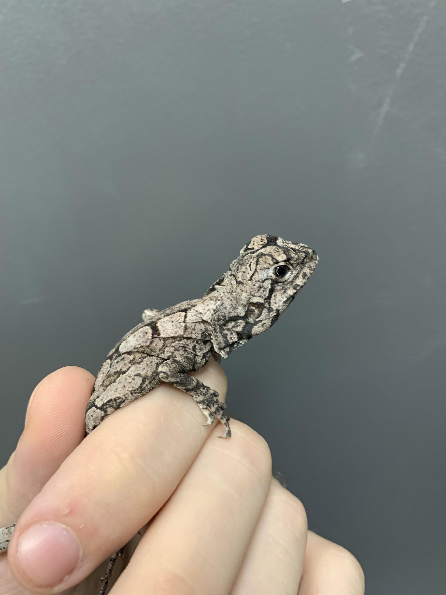 Australian Frilled Dragon