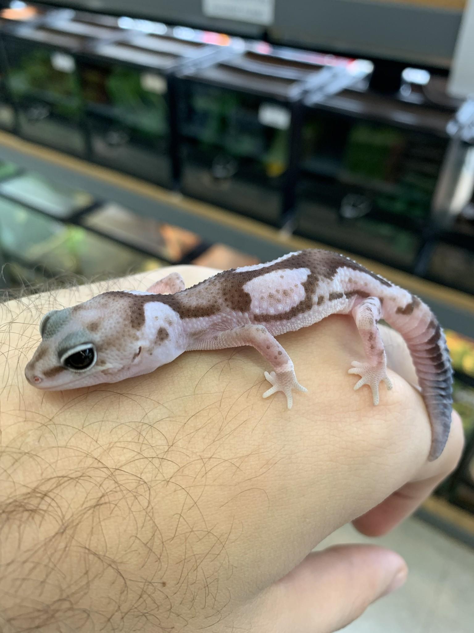 Oreo Zulu Fat Tail Gecko