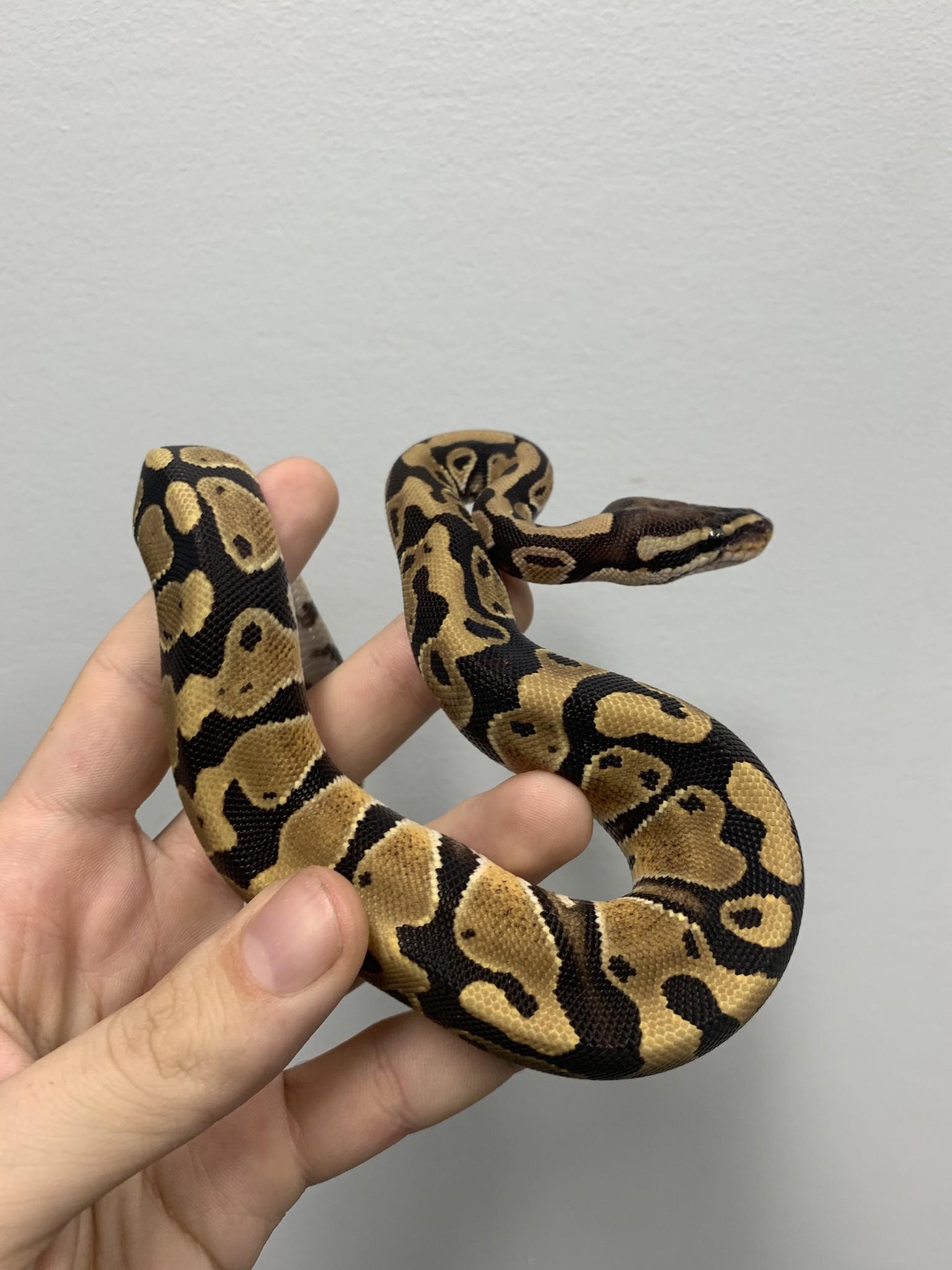 1.0 Ball Python Het Desert Ghost/Lavander/Hypo