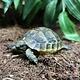 Black Greek Tortoise