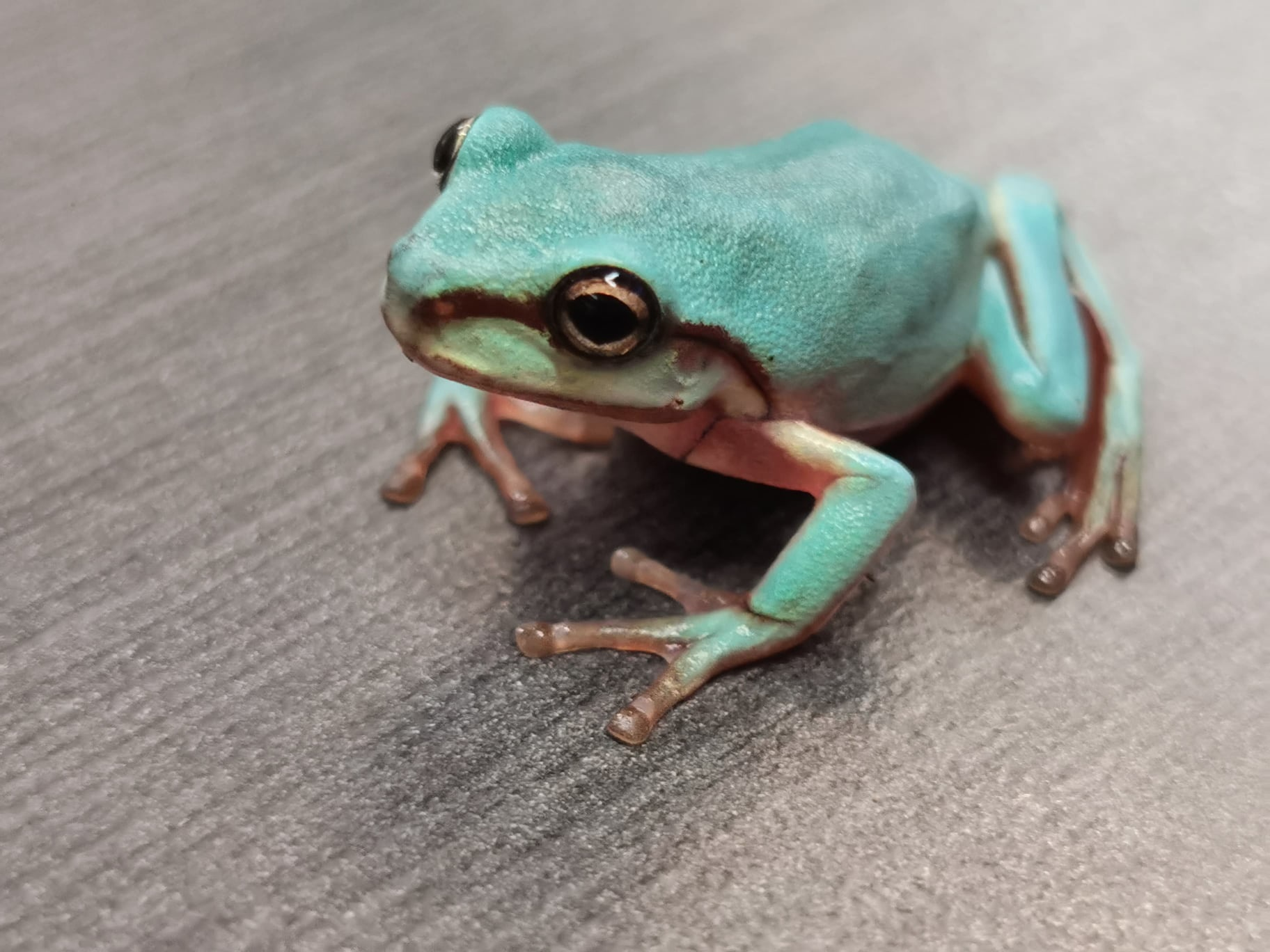 Blue Whites Tree Frog (CB)