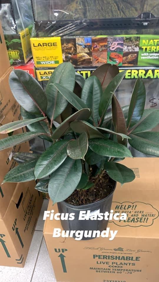 """10"""" Ficus Elastica """"Burgundy"""""""