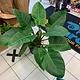 "10"" Philodendron ""Congo Rojo"""