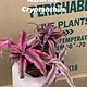 "2"" Cryptanthus Assorted (Bromeliad)"