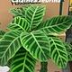 """6"""" Calathea Zebrina"""