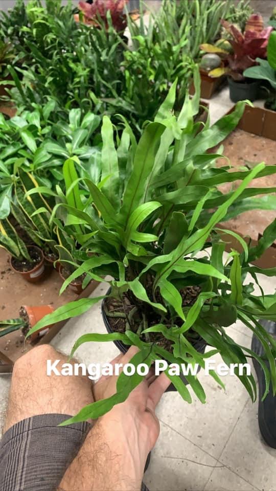 """6"""" Kangaroo Paw Fern"""