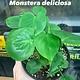 """6"""" Monstera Deliciosa"""