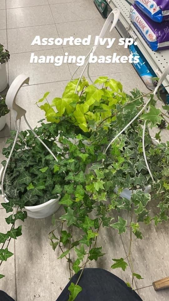 """8"""" Assorted Ivy Hanging Basket"""