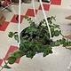 "6"" Tradescantia Callisia Elegans Hanging Basket"