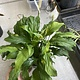 """6"""" Spathiphyllum Peace Lily"""