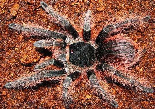 0.1 Nhandu carapoensis (Brazilian Red) 6cm