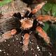 Brachypelma boehmei (Mexican Fireleg) 2cm