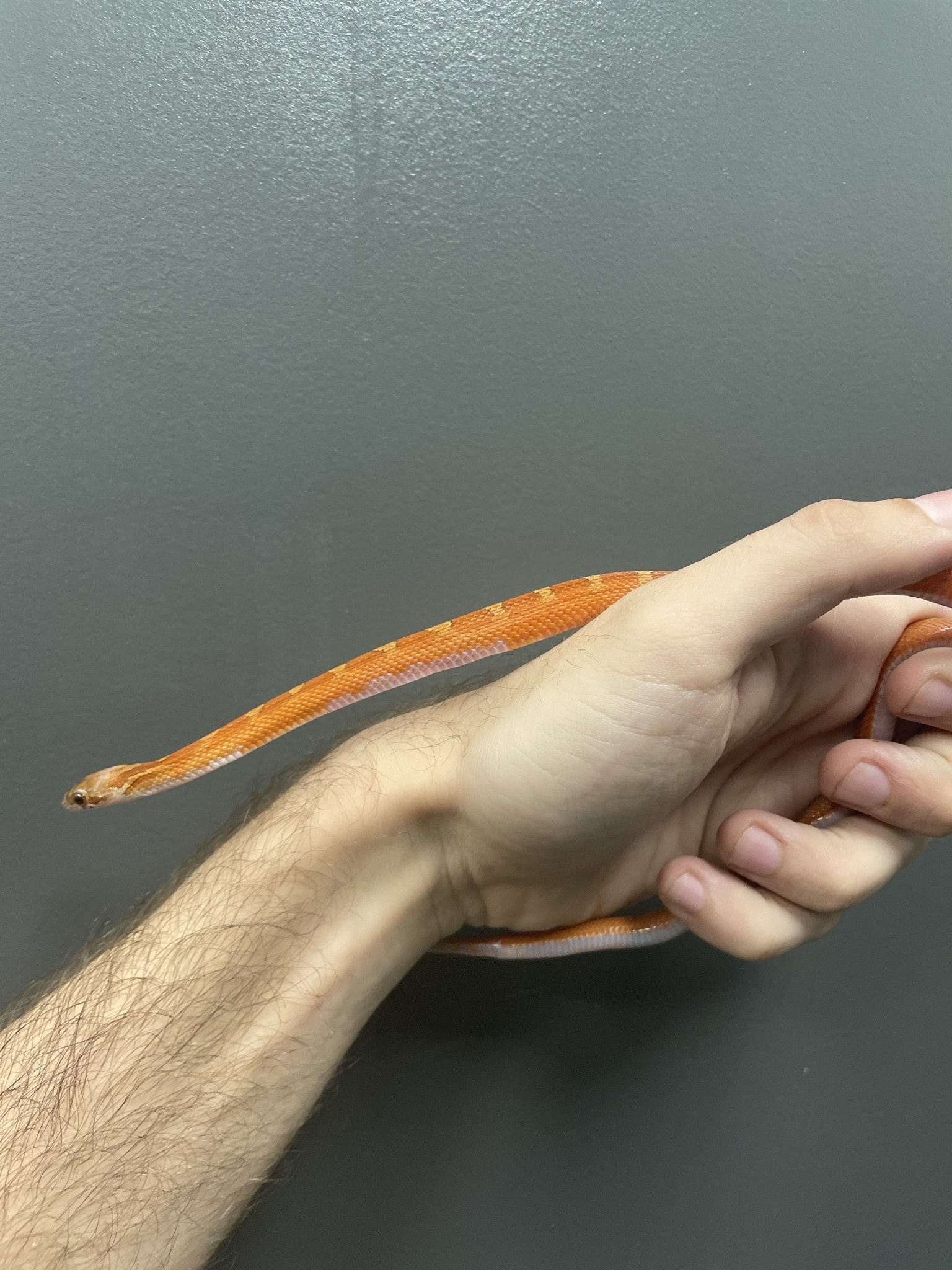 Bloodred Piedside (Medium Expression) Corn Snake