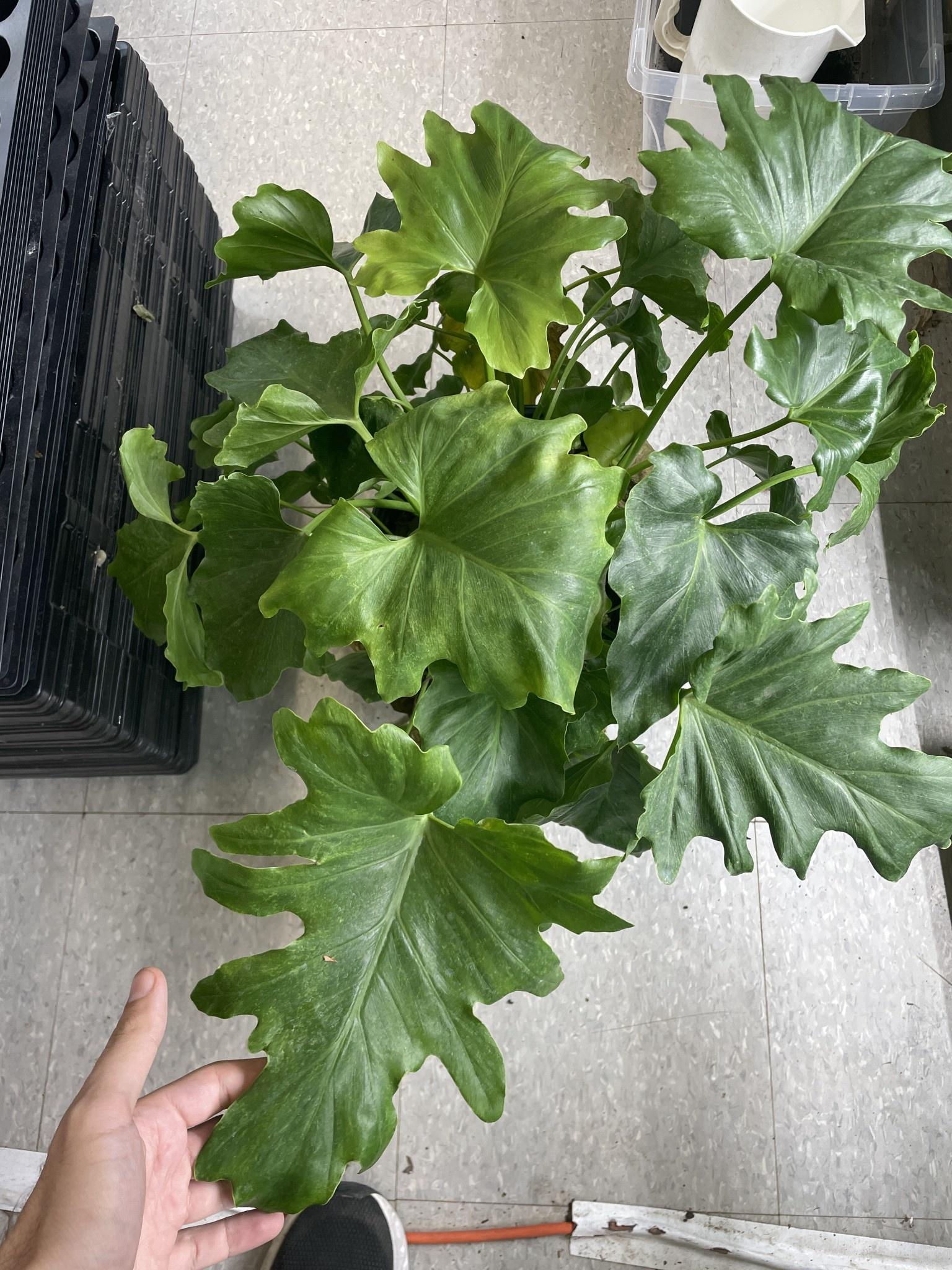 "10"" Philodendron Xanadu"