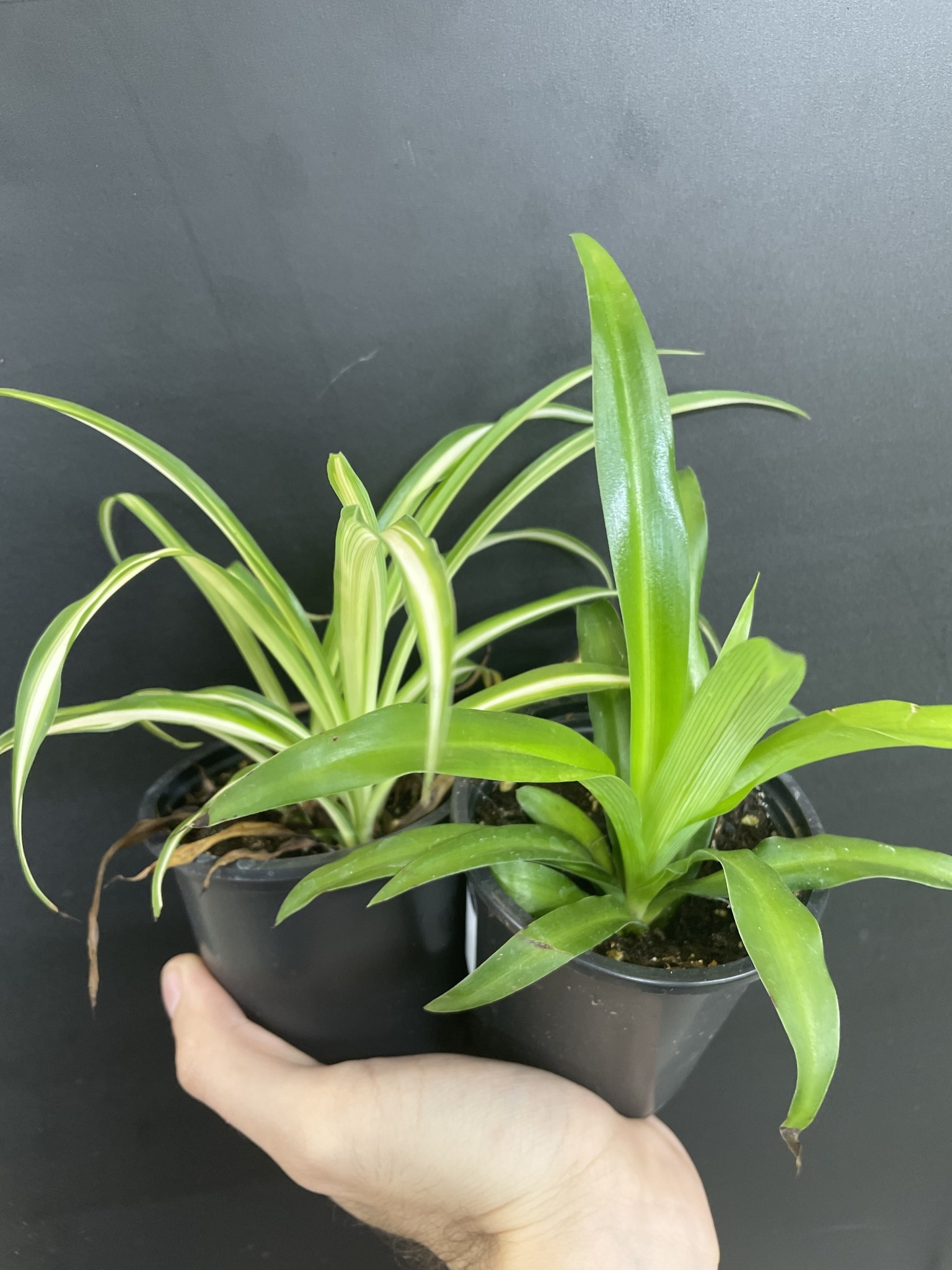 """3.5"""" Assorted Spider Plant"""