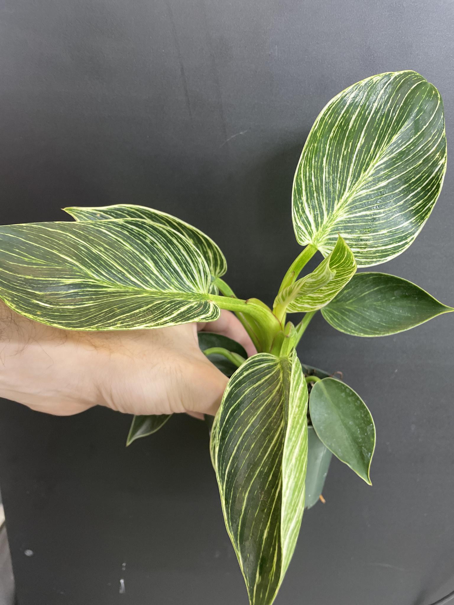 "4"" Philodendron Birkin"
