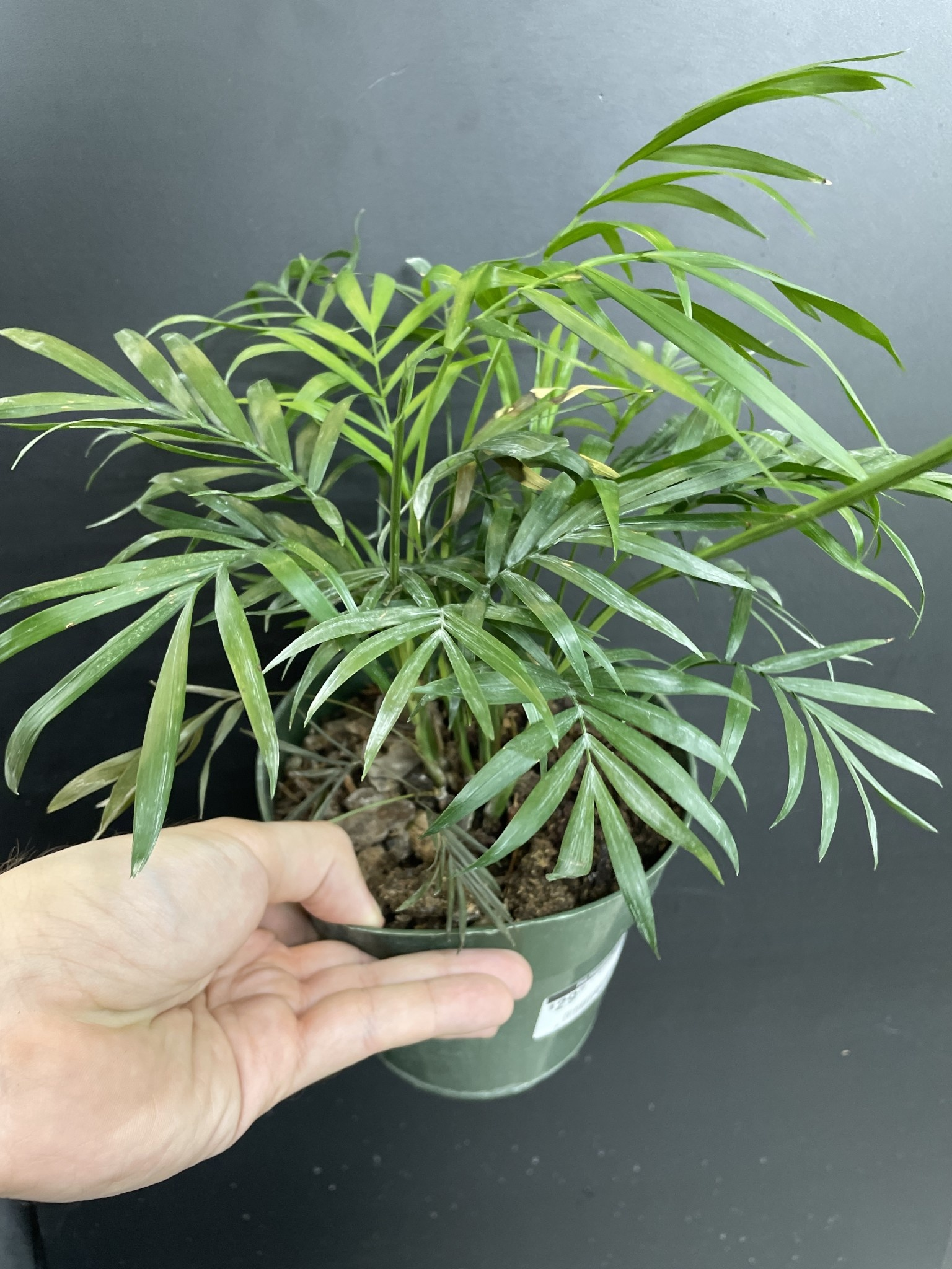 "6"" Neantha Bella Palm"